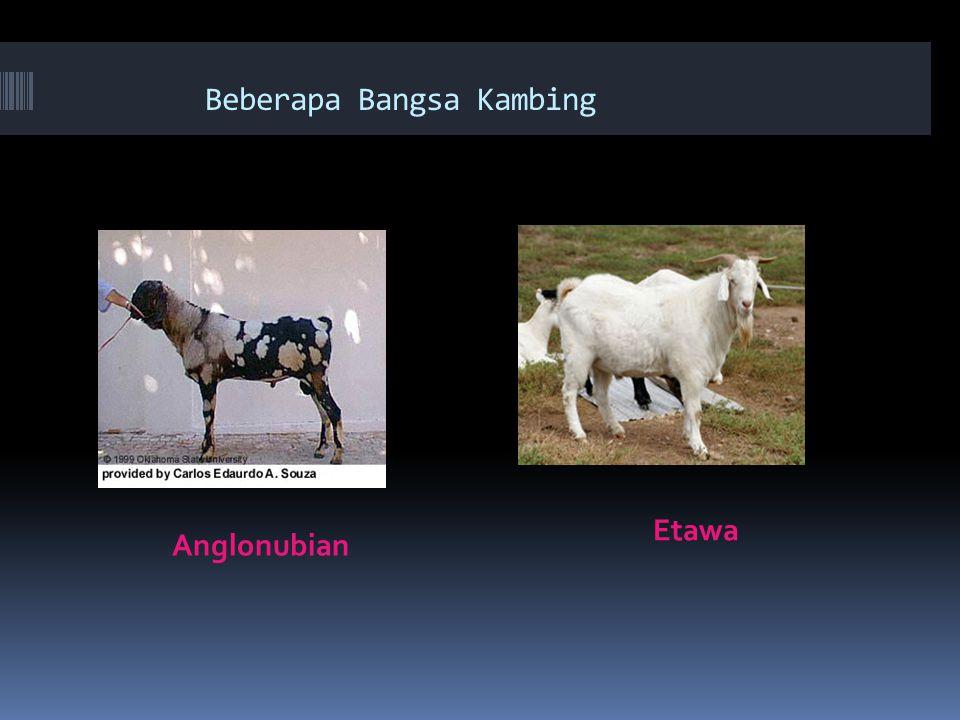 Beberapa Bangsa Kambing Anglonubian Etawa