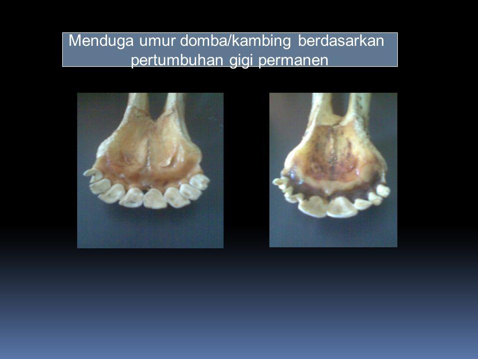 Menduga umur domba/kambing berdasarkan pertumbuhan gigi permanen