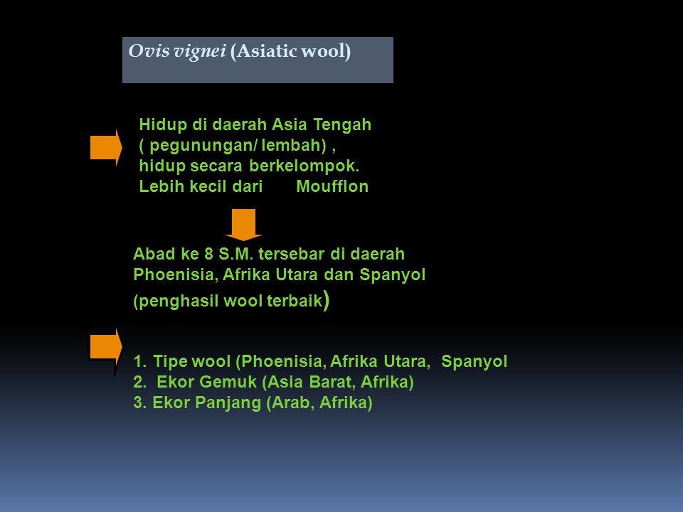 Ovis vignei (Asiatic wool) Hidup di daerah Asia Tengah ( pegunungan/ lembah), hidup secara berkelompok.