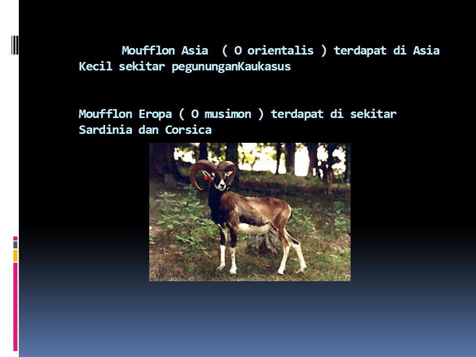 Moufflon Asia ( O orientalis ) terdapat di Asia Kecil sekitar pegununganKaukasus Moufflon Eropa ( O musimon ) terdapat di sekitar Sardinia dan Corsica