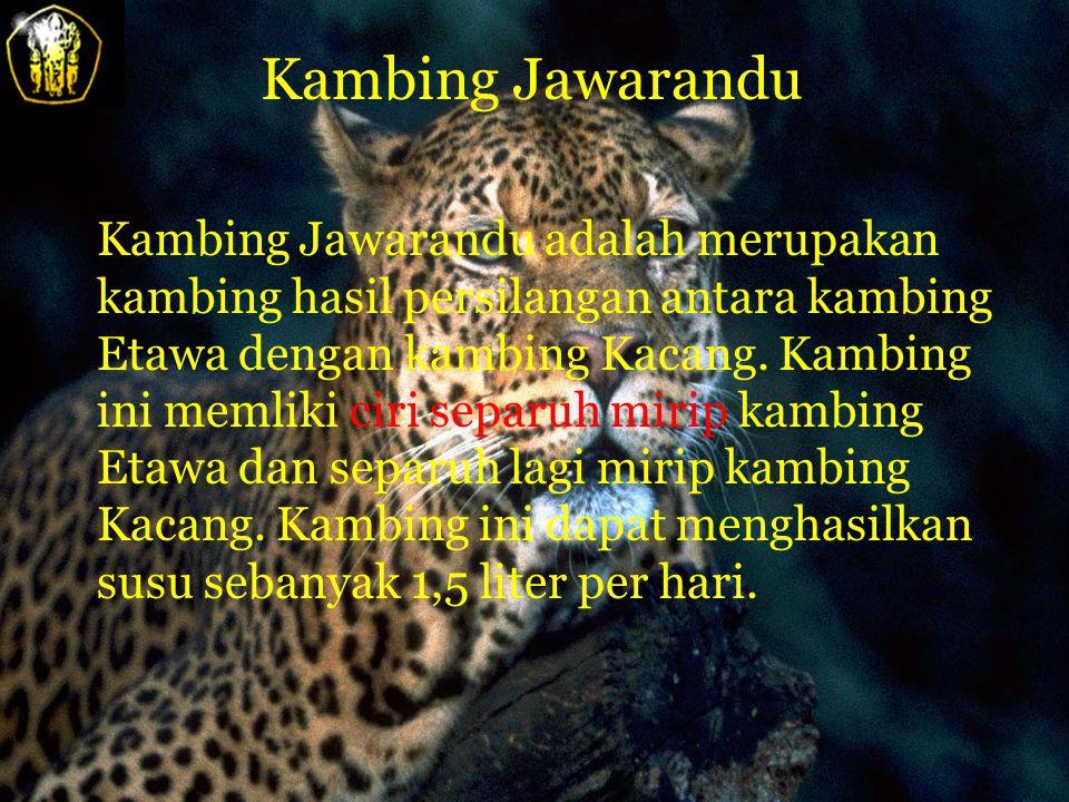 Kambing Jawarandu Kambing Jawarandu adalah merupakan kambing hasil persilangan antara kambing Etawa dengan kambing Kacang.
