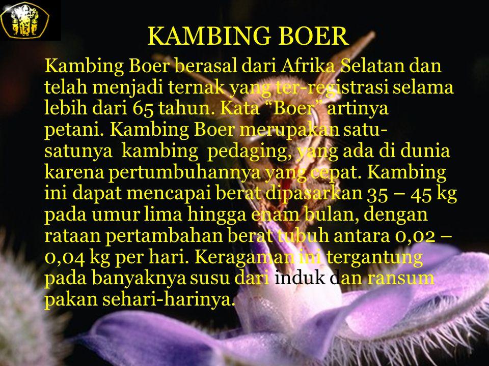 KAMBING BOER Kambing Boer berasal dari Afrika Selatan dan telah menjadi ternak yang ter-registrasi selama lebih dari 65 tahun.