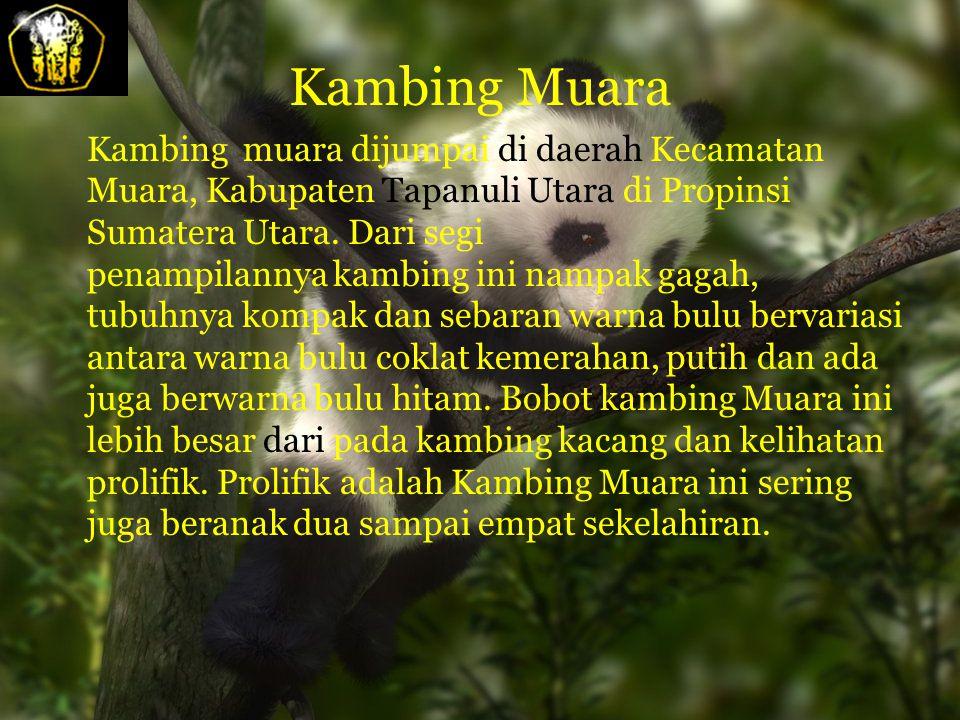 Kambing Muara Kambing muara dijumpai di daerah Kecamatan Muara, Kabupaten Tapanuli Utara di Propinsi Sumatera Utara.