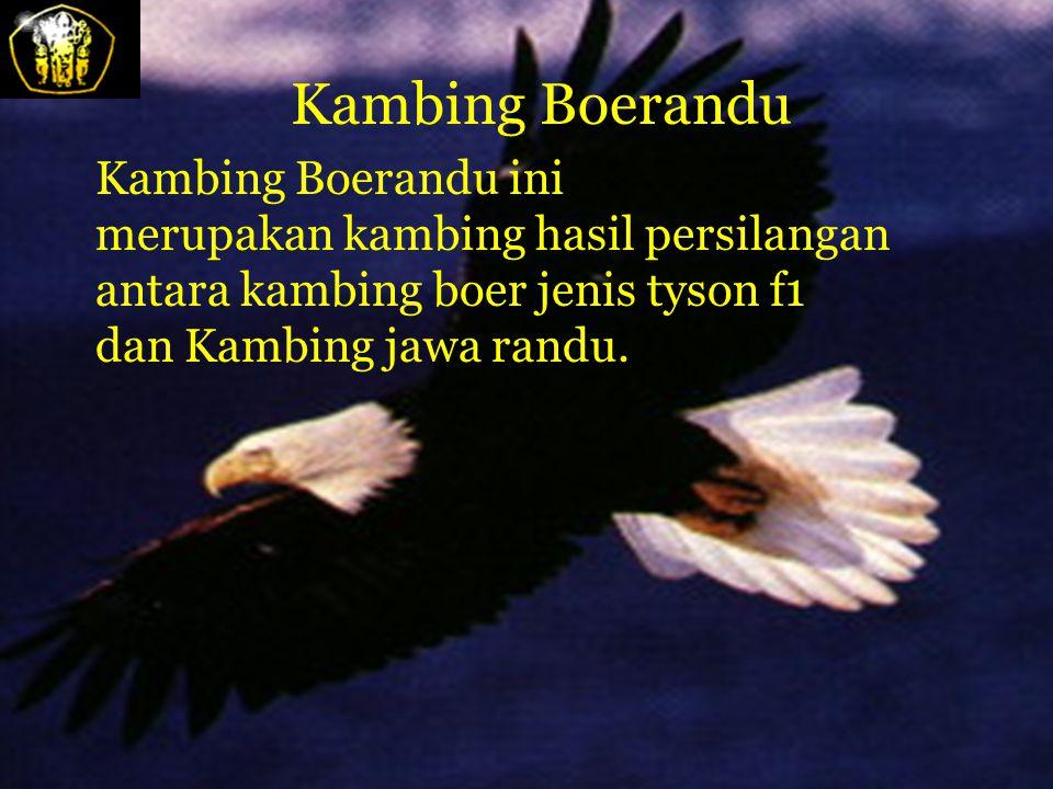Kambing Muara Kambing muara dijumpai di daerah Kecamatan Muara, Kabupaten Tapanuli Utara di Propinsi Sumatera Utara. Dari segi penampilannya kambing i
