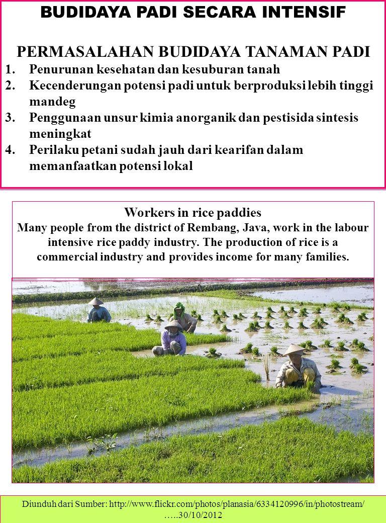 BUDIDAYA PADI SECARA INTENSIF PERMASALAHAN BUDIDAYA TANAMAN PADI 1.Penurunan kesehatan dan kesuburan tanah 2.Kecenderungan potensi padi untuk berproduksi lebih tinggi mandeg 3.Penggunaan unsur kimia anorganik dan pestisida sintesis meningkat 4.Perilaku petani sudah jauh dari kearifan dalam memanfaatkan potensi lokal Workers in rice paddies Many people from the district of Rembang, Java, work in the labour intensive rice paddy industry.