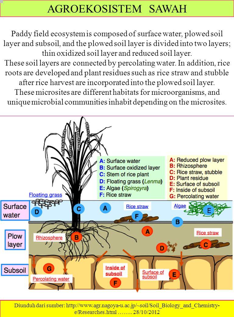 CARA MEMBUAT PERSEMAIAN 1.Campurkan Tanah dan kompos 1 : 1 2.Masukan campuran tanah dan kompos ke dalam baki atau pipiti yang dilapisi daun pisang 3.Taburkan benih ke dalam nampan 4.Tutup dengan jerami atau kompos Persemaian padi dengan Menggunakan Pupuk HOSC sebagai pupuk Semai, menunjukkan pertumbuhan yang bagus dan perkembangan akar yang sempurna pada usia 9 hari, dan pada usia 13 hari benih padi