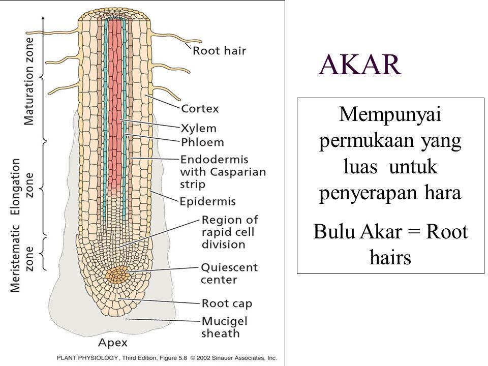 AKAR Mempunyai permukaan yang luas untuk penyerapan hara Bulu Akar = Root hairs