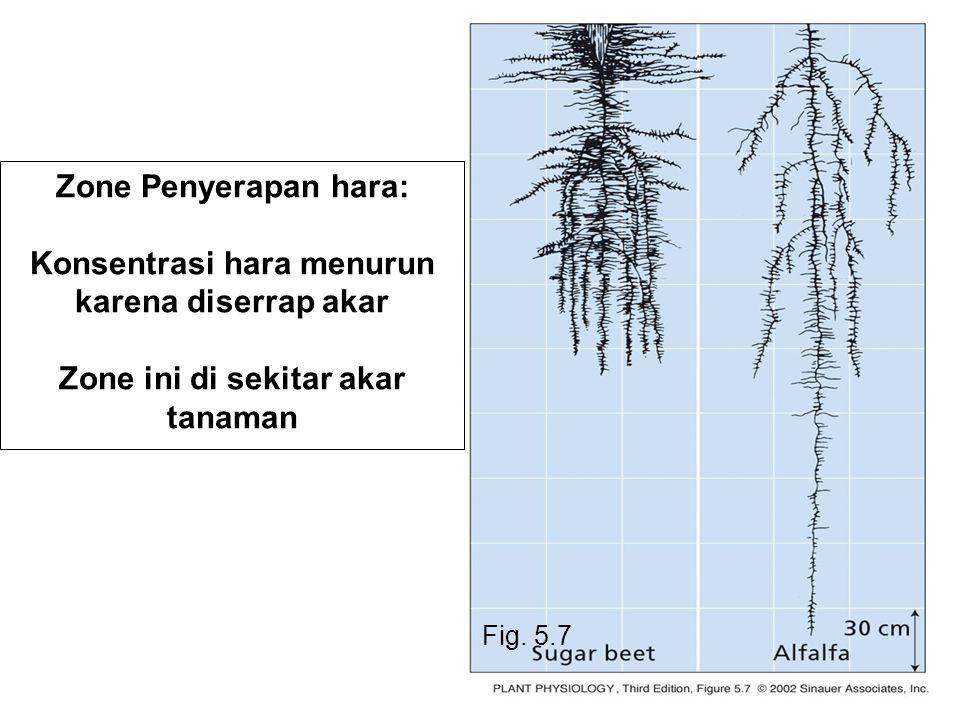 Fig. 5.7 Zone Penyerapan hara: Konsentrasi hara menurun karena diserrap akar Zone ini di sekitar akar tanaman