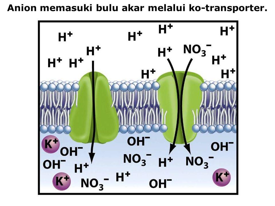 Anion memasuki bulu akar melalui ko-transporter.