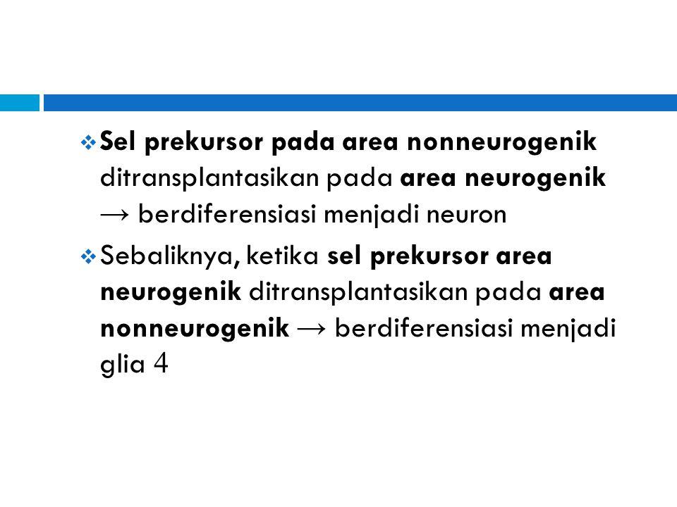  Sel prekursor pada area nonneurogenik ditransplantasikan pada area neurogenik → berdiferensiasi menjadi neuron  Sebaliknya, ketika sel prekursor ar