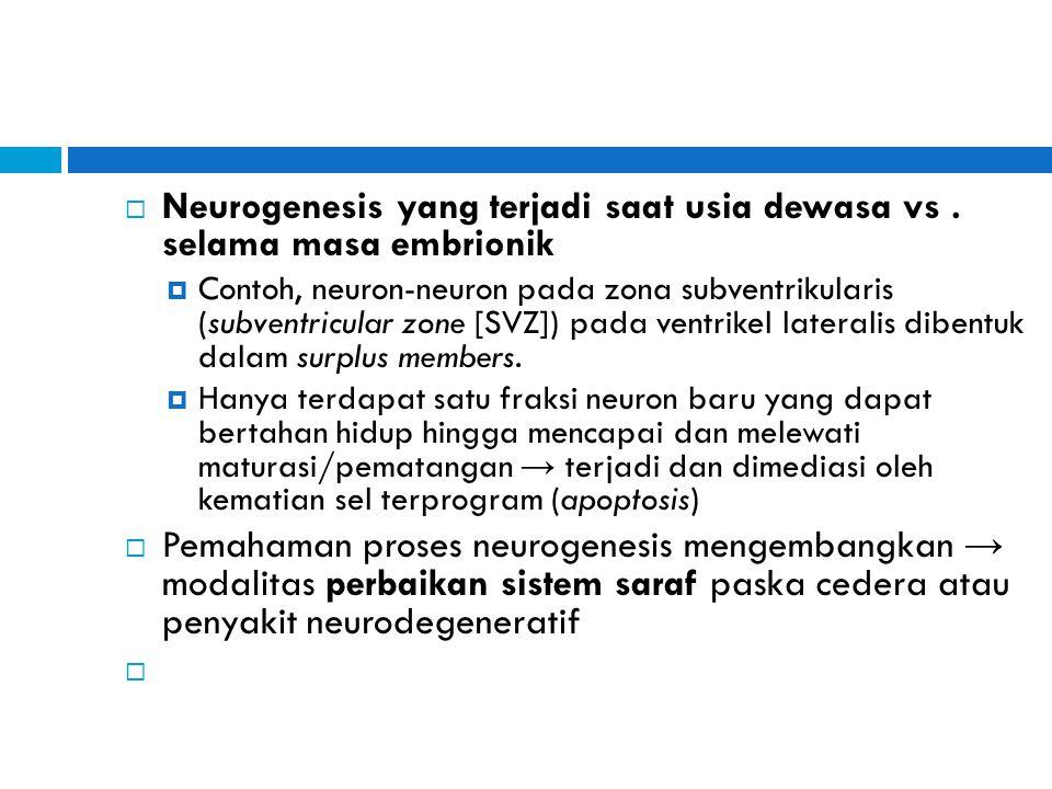  Neurogenesis yang terjadi saat usia dewasa vs. selama masa embrionik  Contoh, neuron-neuron pada zona subventrikularis (subventricular zone [SVZ])