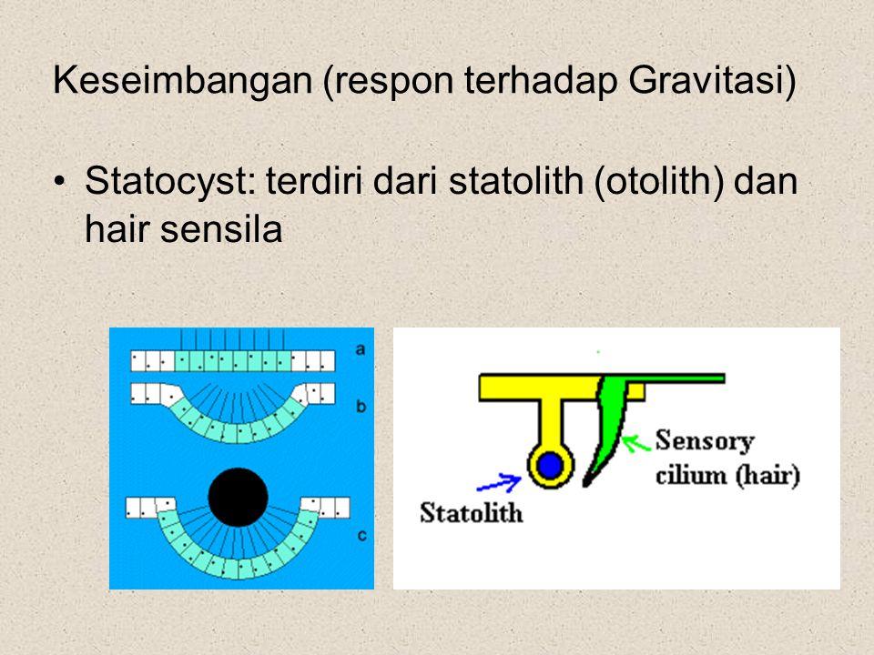 Keseimbangan (respon terhadap Gravitasi) Statocyst: terdiri dari statolith (otolith) dan hair sensila