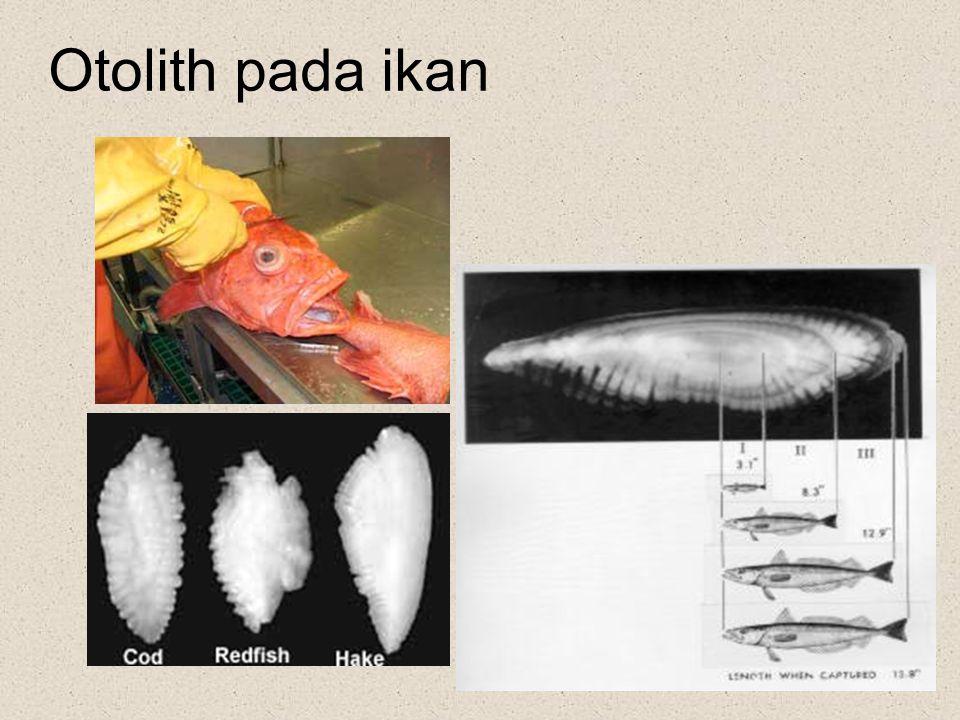 Otolith pada ikan