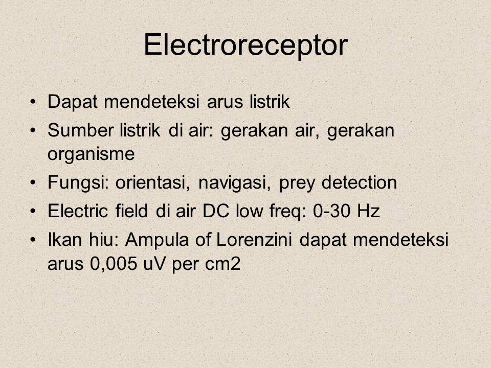 Electroreceptor Dapat mendeteksi arus listrik Sumber listrik di air: gerakan air, gerakan organisme Fungsi: orientasi, navigasi, prey detection Electr