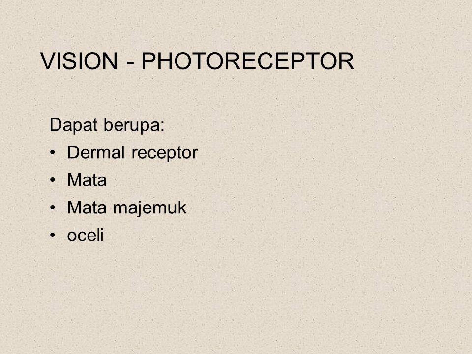 VISION - PHOTORECEPTOR Dapat berupa: Dermal receptor Mata Mata majemuk oceli