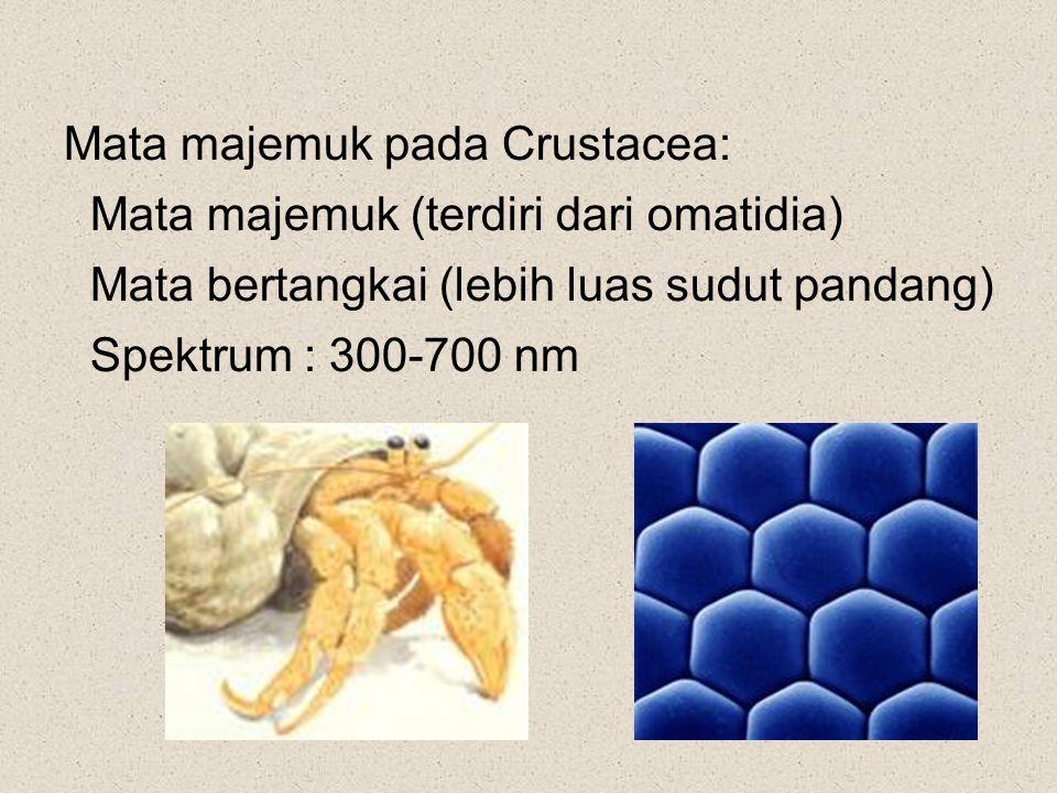 Mata majemuk pada Crustacea: Mata majemuk (terdiri dari omatidia) Mata bertangkai (lebih luas sudut pandang) Spektrum : 300-700 nm