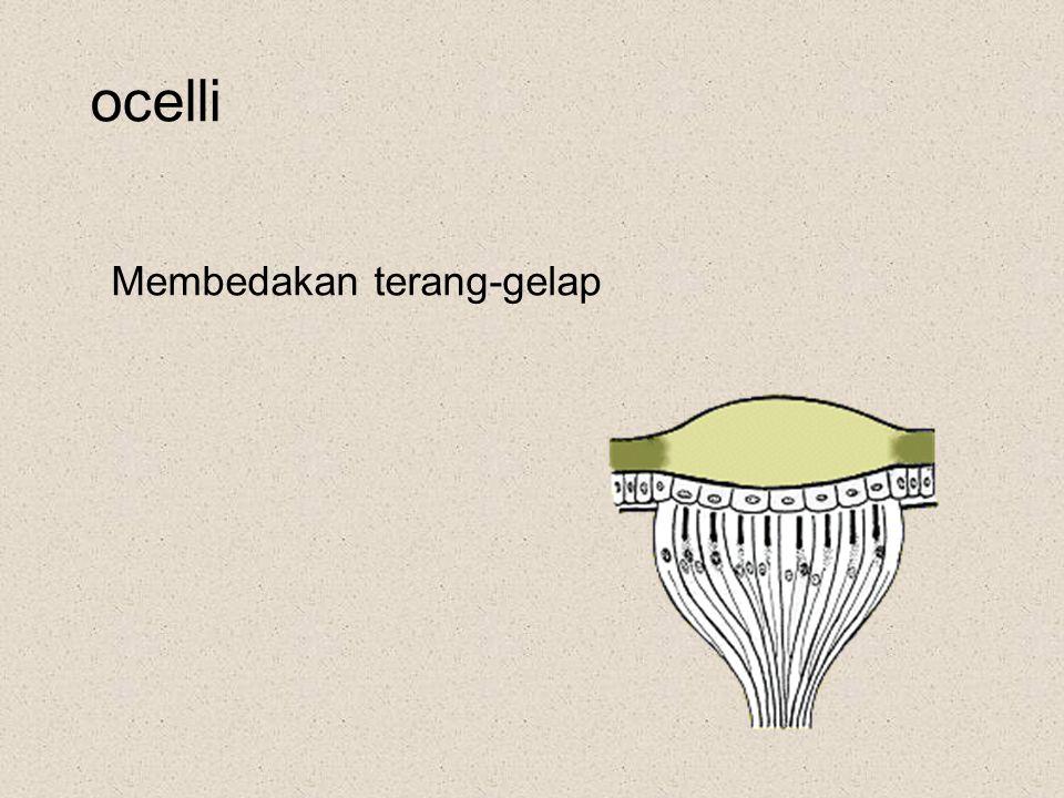 ocelli Membedakan terang-gelap