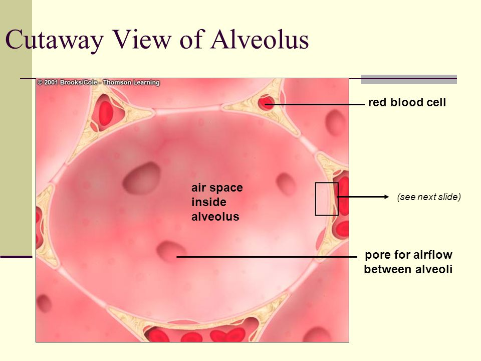 red blood cell air space inside alveolus pore for airflow between alveoli Cutaway View of Alveolus (see next slide)