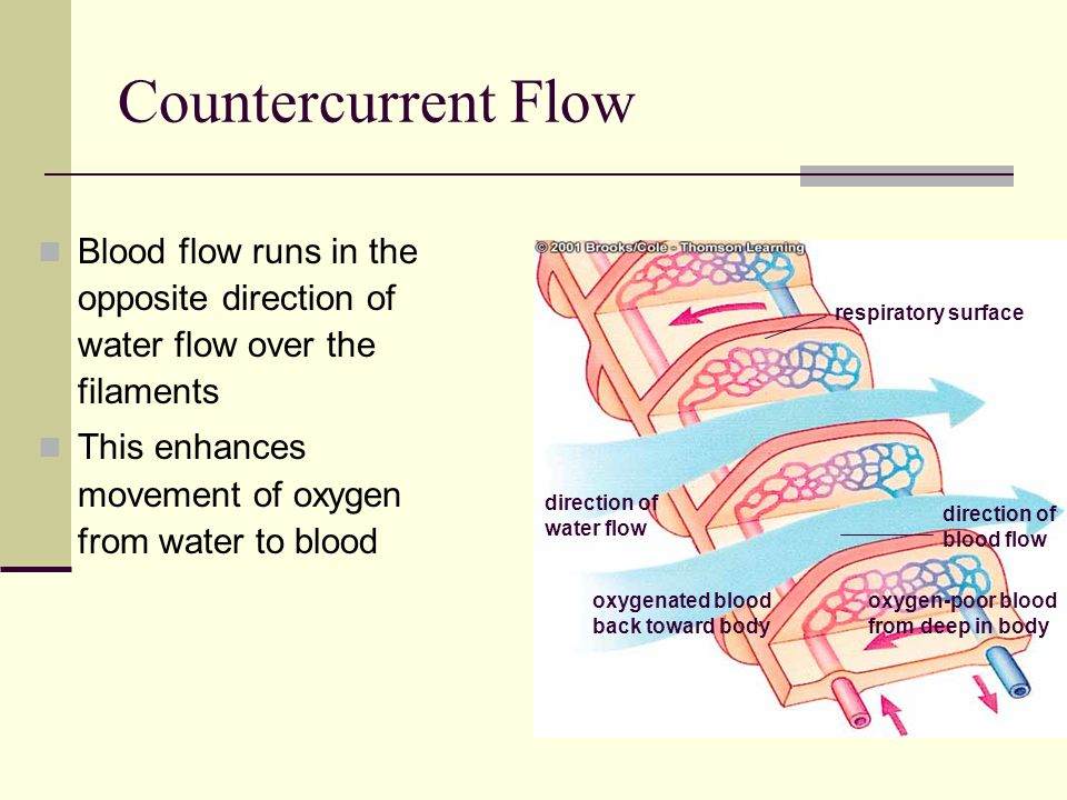 Countercurrent Flow Blood flow runs in the opposite direction of water flow over the filaments This enhances movement of oxygen from water to blood di