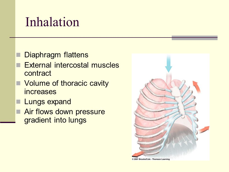 Inhalation Diaphragm flattens External intercostal muscles contract Volume of thoracic cavity increases Lungs expand Air flows down pressure gradient
