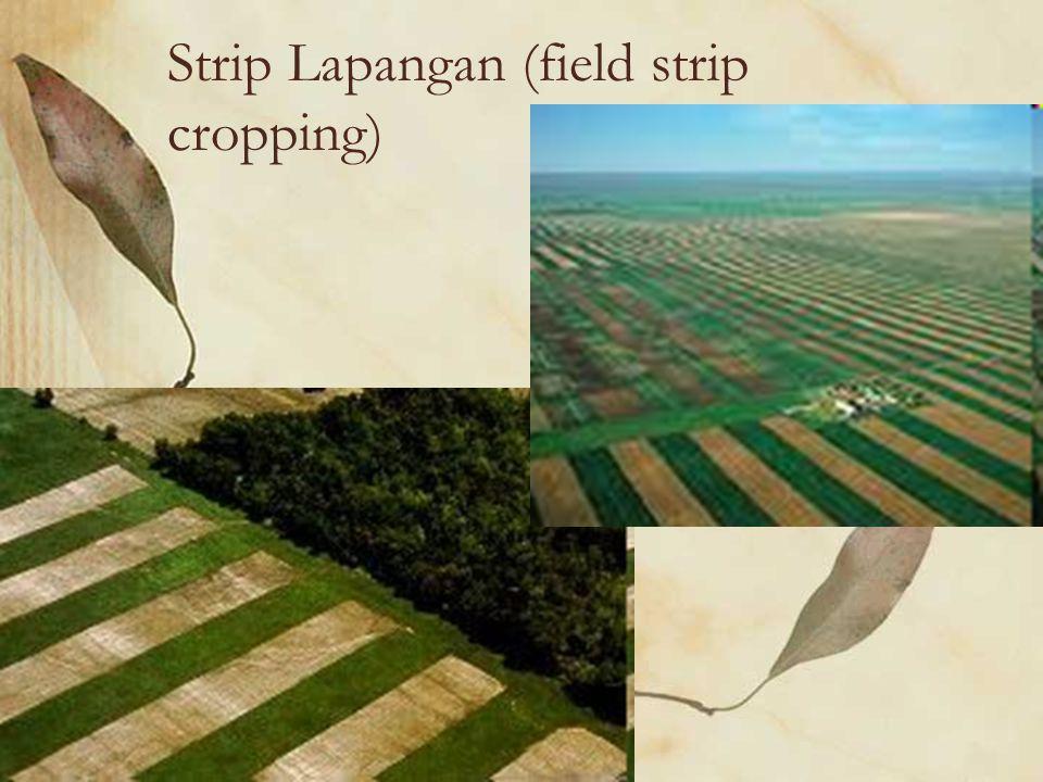 Strip Berpenyangga (Buffer Strip Cropping)