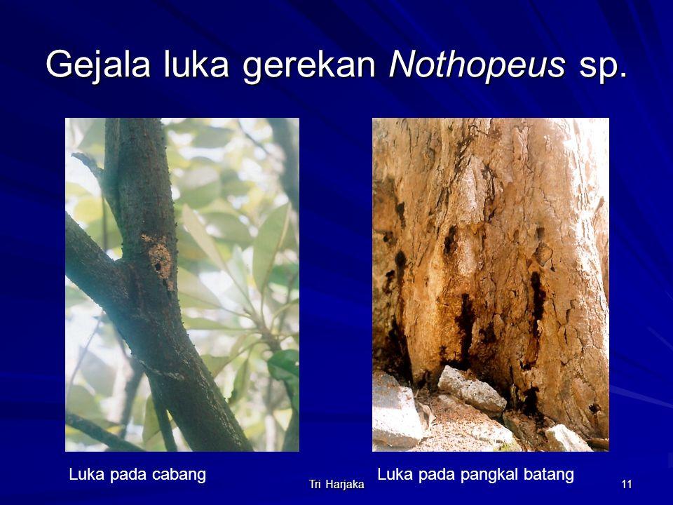 Tri Harjaka 11 Gejala luka gerekan Nothopeus sp. Luka pada cabangLuka pada pangkal batang