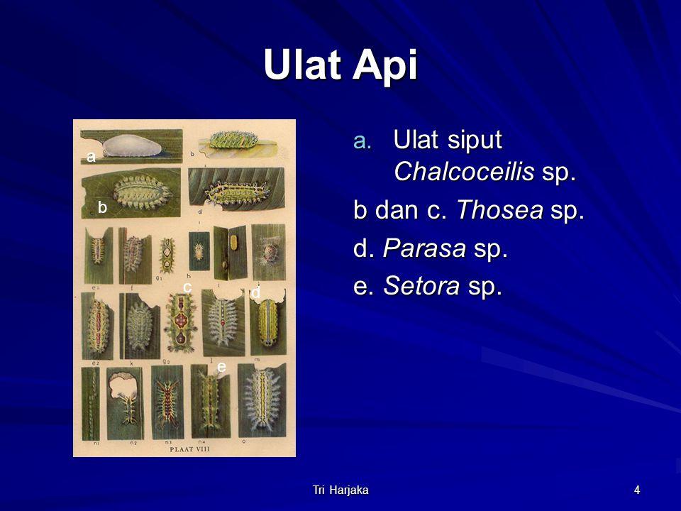 Tri Harjaka 4 Ulat Api a. Ulat siput Chalcoceilis sp. b dan c. Thosea sp. d. Parasa sp. e. Setora sp. a b c d e