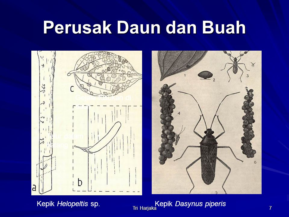 Tri Harjaka 7 Perusak Daun dan Buah Telur dalam batang Gejala tusukan di daun Kepik Helopeltis sp.Kepik Dasynus piperis