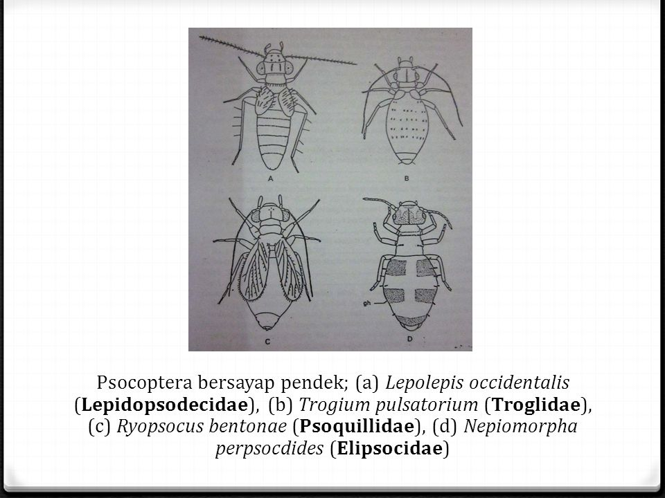Psocoptera bersayap pendek; (a) Lepolepis occidentalis (Lepidopsodecidae), (b) Trogium pulsatorium (Troglidae), (c) Ryopsocus bentonae (Psoquillidae),