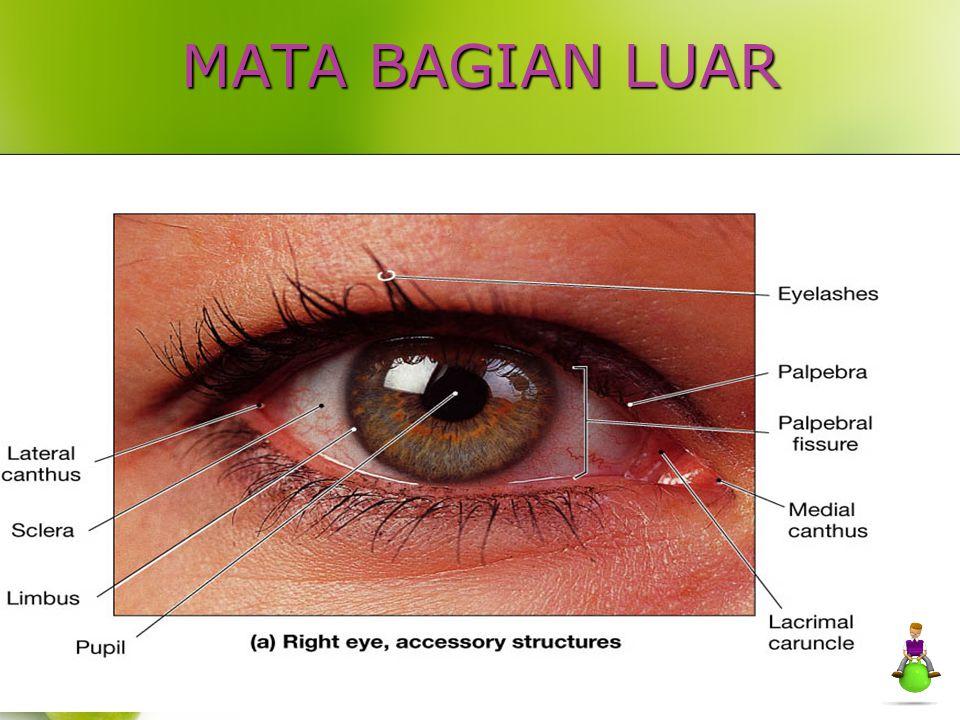 Visual pathway (jaras visual) Chiasma optikum N.