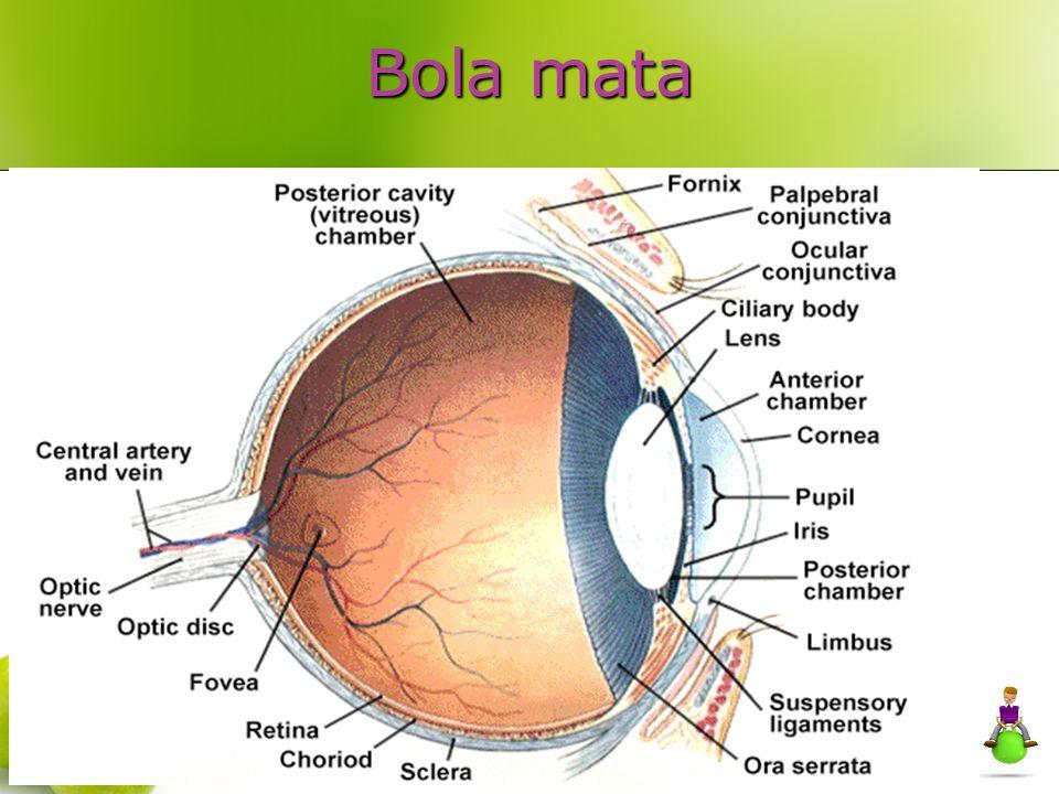 TERMINOLOGI PENGLIHATAN Emmetropia = Normal vision Hyperopia = rabun dekat Myopia = rabun jauh Presbyopia = mata tua (Poor close-up vision with aging) Astigmatism = Abnormal shape of the surface of the lens and/or cornea Cataract = abnormal crystallization of the lens, common in diabetes, injury, heredity Amblyopia = Poor vision in a normal eye (CNS defect)