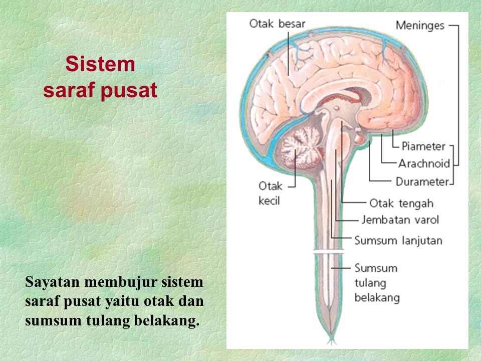Sistem saraf pusat Sayatan membujur sistem saraf pusat yaitu otak dan sumsum tulang belakang.