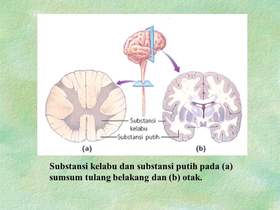 Substansi kelabu dan substansi putih pada (a) sumsum tulang belakang dan (b) otak.