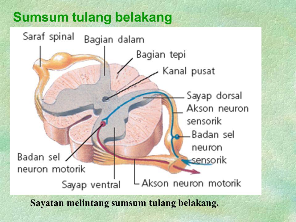 Sumsum tulang belakang Sayatan melintang sumsum tulang belakang.