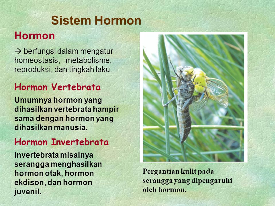 Sistem Hormon Hormon Invertebrata Invertebrata misalnya serangga menghasilkan hormon otak, hormon ekdison, dan hormon juvenil. Pergantian kulit pada s