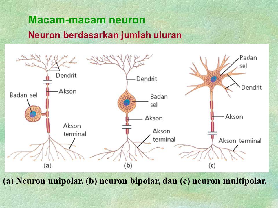 Sistem saraf tak sadar Sistem saraf tak sadar yang tersusun atas sistem saraf simpatik dan sistem saraf parasimpatik.