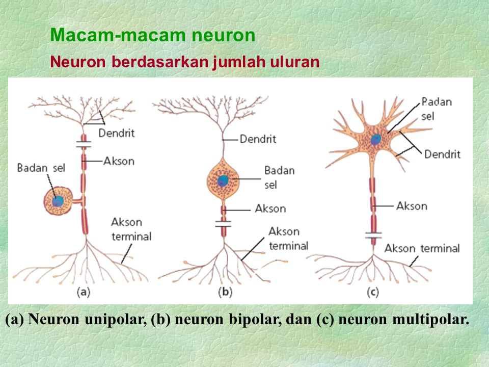 Macam-macam neuron Neuron berdasarkan jumlah uluran (a) Neuron unipolar, (b) neuron bipolar, dan (c) neuron multipolar.