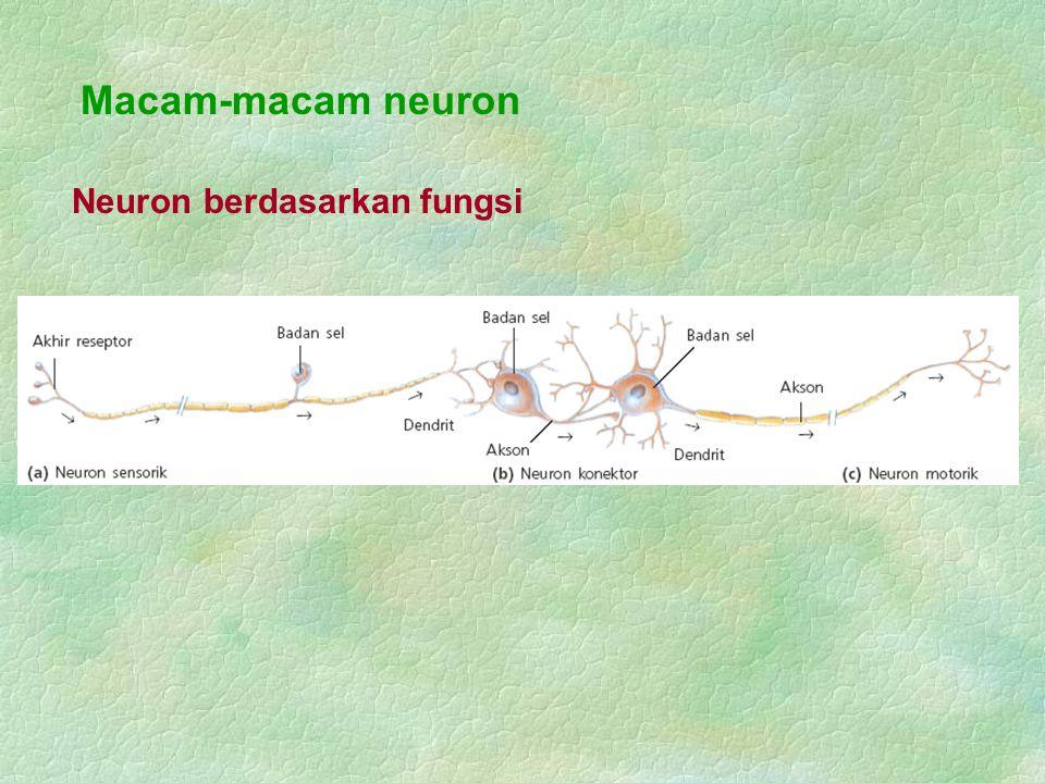 Berdasarkan tempatnya, sinaps dibedakan menjadi 3 macam : Sinaps aksosomatik, Sinaps aksodendritik, Sinaps aksoaksonik.