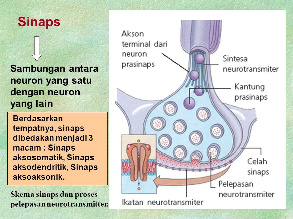 Berdasarkan tempatnya, sinaps dibedakan menjadi 3 macam : Sinaps aksosomatik, Sinaps aksodendritik, Sinaps aksoaksonik. Sinaps Skema sinaps dan proses
