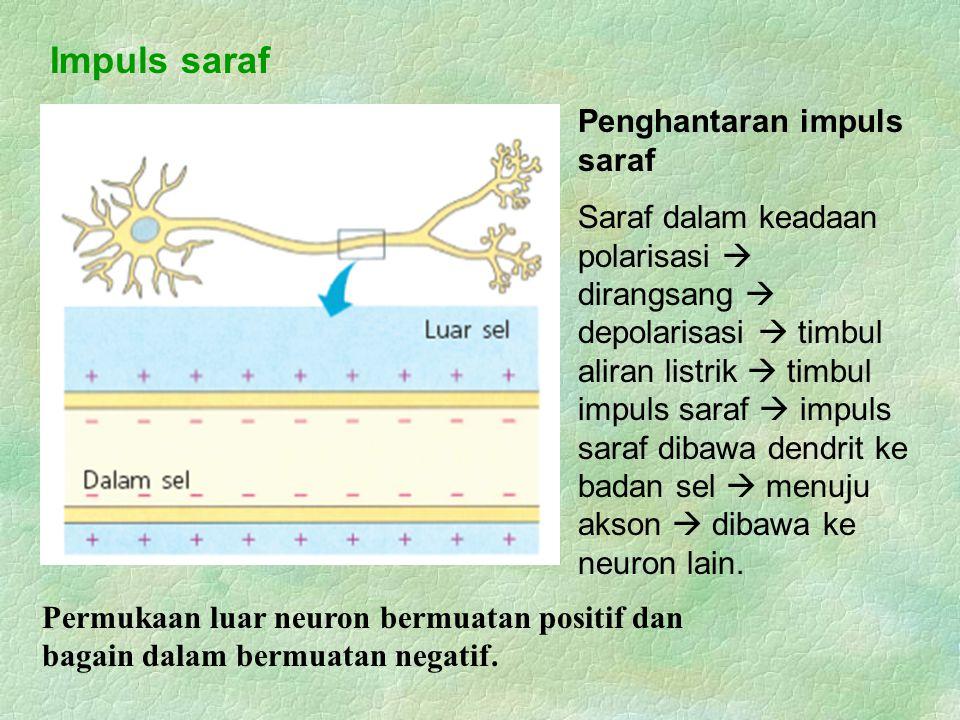 Impuls saraf Permukaan luar neuron bermuatan positif dan bagain dalam bermuatan negatif. Penghantaran impuls saraf Saraf dalam keadaan polarisasi  di