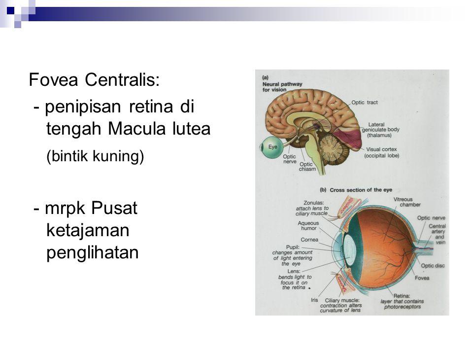 Fovea Centralis: - penipisan retina di tengah Macula lutea (bintik kuning) - mrpk Pusat ketajaman penglihatan