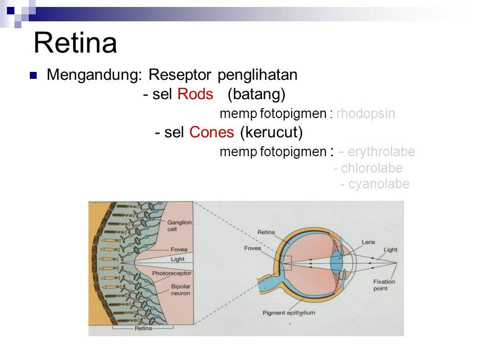 Retina Mengandung: Reseptor penglihatan - sel Rods (batang) memp fotopigmen : rhodopsin - sel Cones (kerucut) memp fotopigmen : - erythrolabe - chlorolabe - cyanolabe