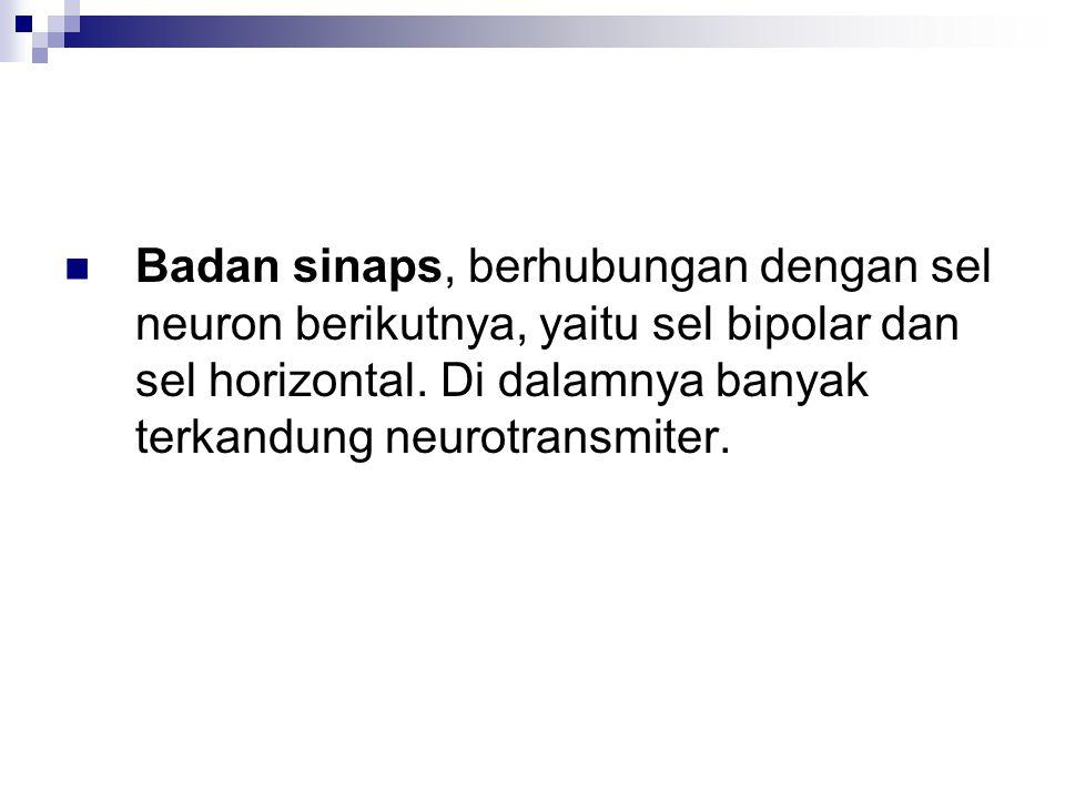 Badan sinaps, berhubungan dengan sel neuron berikutnya, yaitu sel bipolar dan sel horizontal.