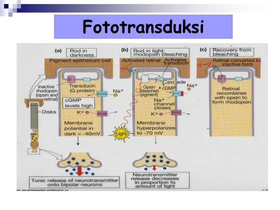 Fototransduksi