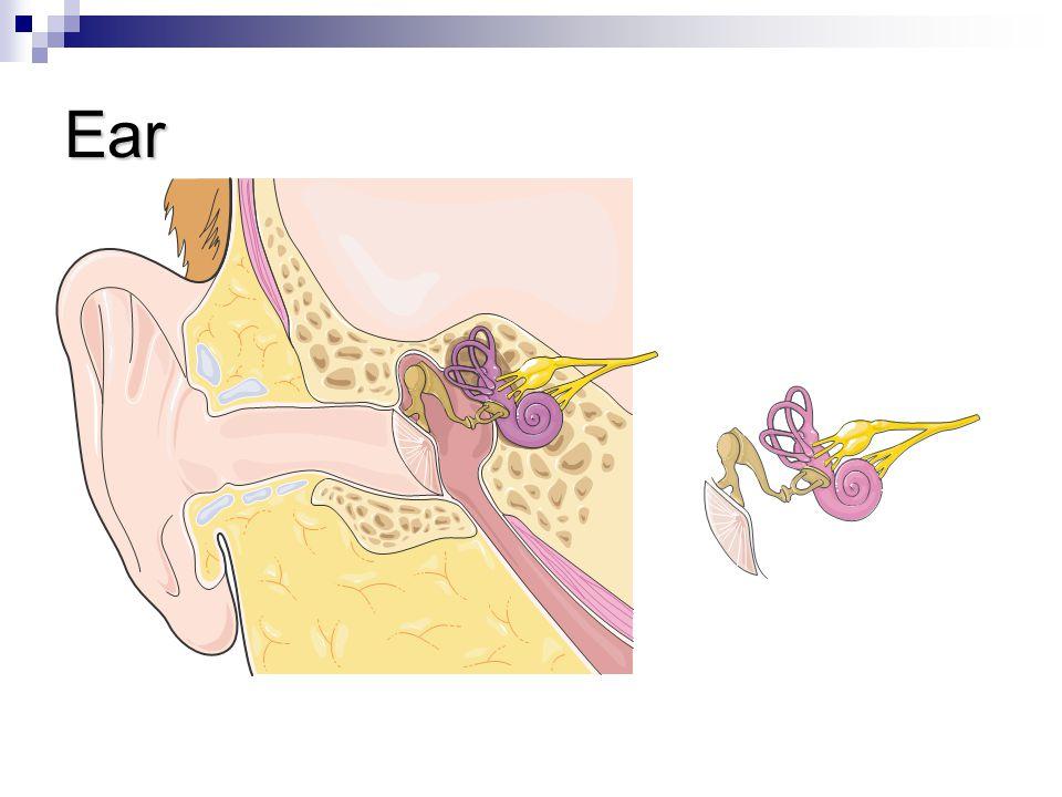 Ear Eardrum Hammer Anvil Stirrup Cochlea Auditive nerve
