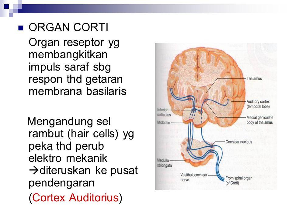 ORGAN CORTI Organ reseptor yg membangkitkan impuls saraf sbg respon thd getaran membrana basilaris Mengandung sel rambut (hair cells) yg peka thd perub elektro mekanik  diteruskan ke pusat pendengaran (Cortex Auditorius)