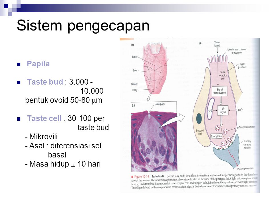 Sistem pengecapan Papila Taste bud : 3.000 - 10.000 bentuk ovoid 50-80  m Taste cell : 30-100 per taste bud - Mikrovili - Asal : diferensiasi sel bas