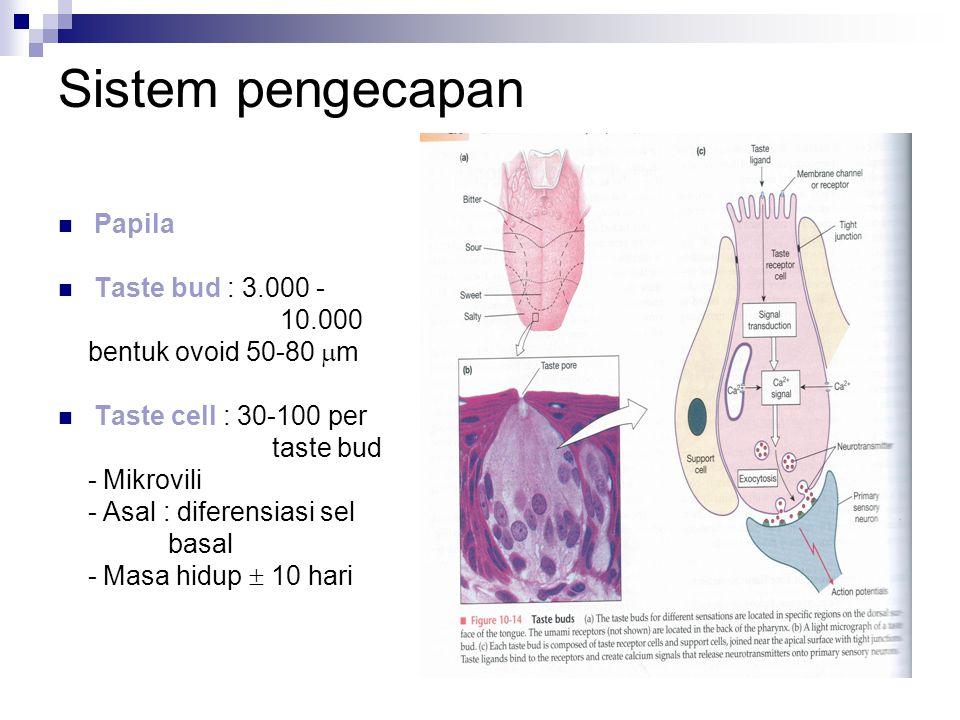 Sistem pengecapan Papila Taste bud : 3.000 - 10.000 bentuk ovoid 50-80  m Taste cell : 30-100 per taste bud - Mikrovili - Asal : diferensiasi sel basal - Masa hidup  10 hari