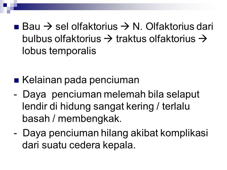Bau  sel olfaktorius  N.