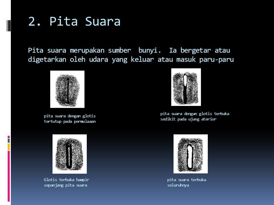 2.Pita Suara Pita suara merupakan sumber bunyi.